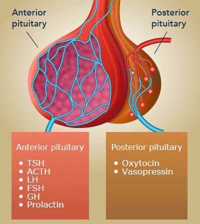 Image of illustration of anterior and posterior pituitary gland